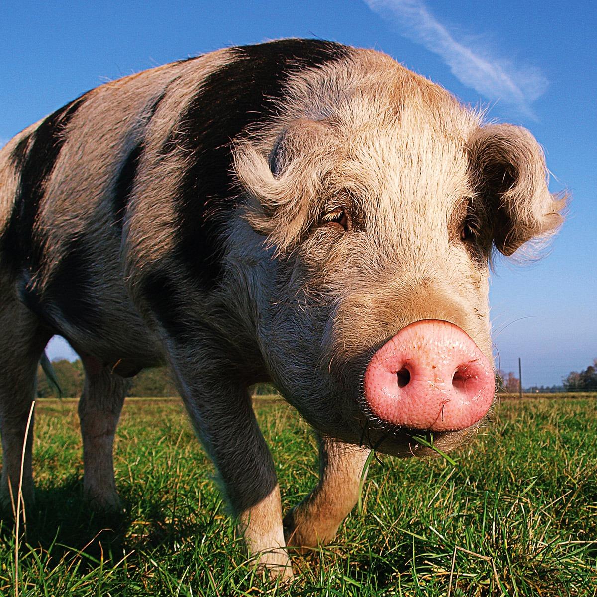 Mozart-Pig-square-