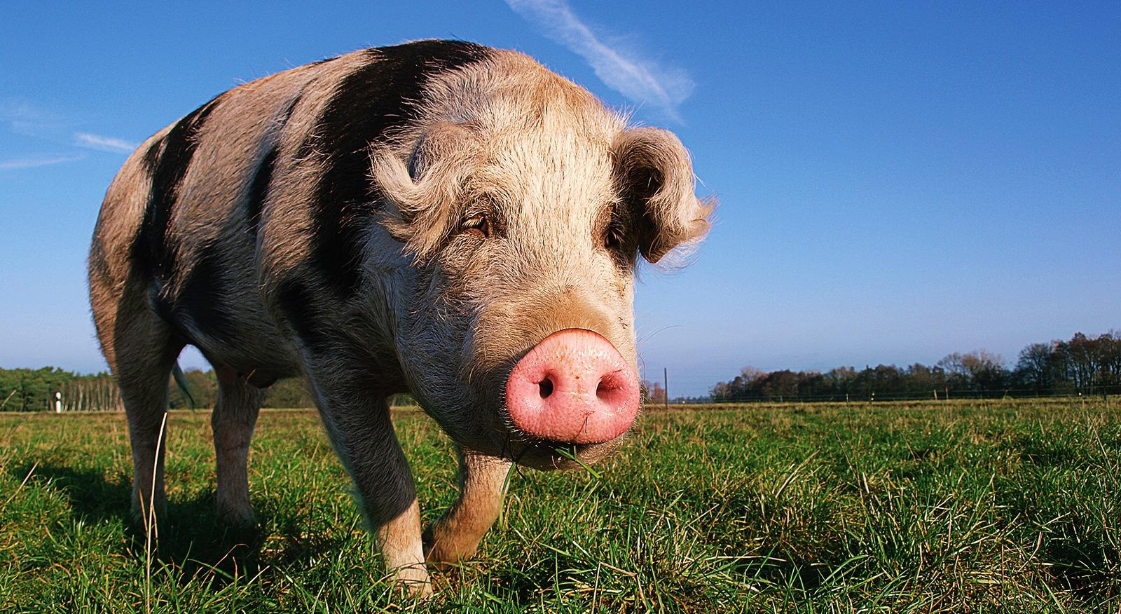 Mozart-Schwein-Meine-kleine-Farm-h0rse-portfolio